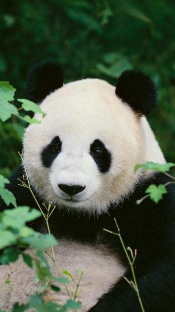 Free download Panda Wallpaper Iphone 1.