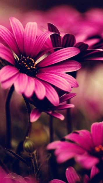 Free pink flower wallpaper for iphone.