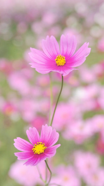 Nature Happy Gesang Flower iphone backgrounds.